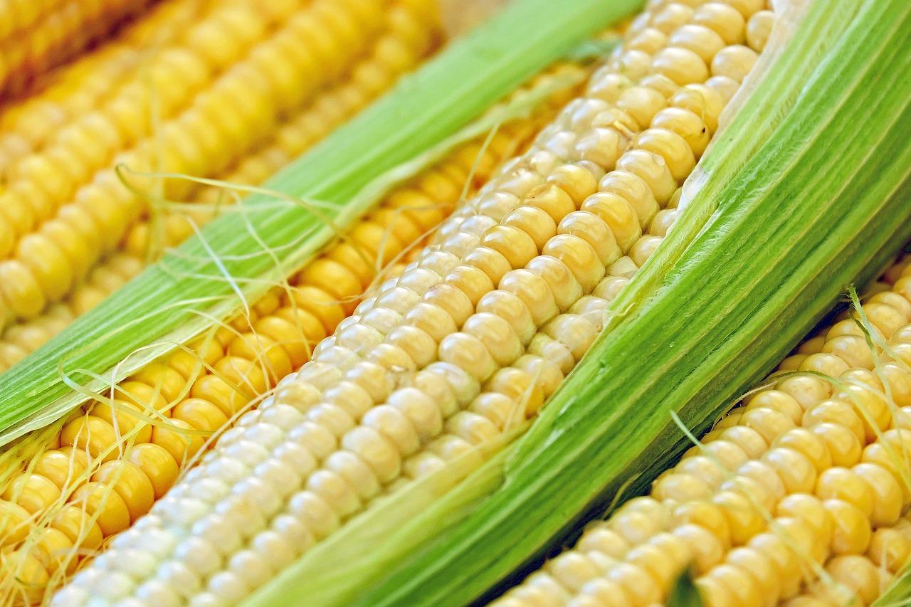 Zwalczanie chwastów w uprawach kukurydzy